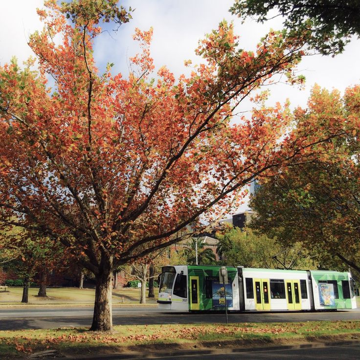 Autumn in Melbourne. Changing seasonal foliage brings additional charm to the city while its iconic tram passes by. As of May 2017, Melbourne operates the world's largest urban tram network with 250 kilometres of track, 493 trams, 24 routes and 1,763 stops, ahead of networks in St Petersburg, Upper Silesia, Berlin, Moscow and Vienna. Taken with iPhone 5s, April 2015.