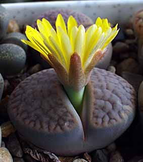 "Lithops - is a genus of succulent plants in the ice plant family, Aizoaceae, commonly called ""flowering stones"" or ""living stones"""