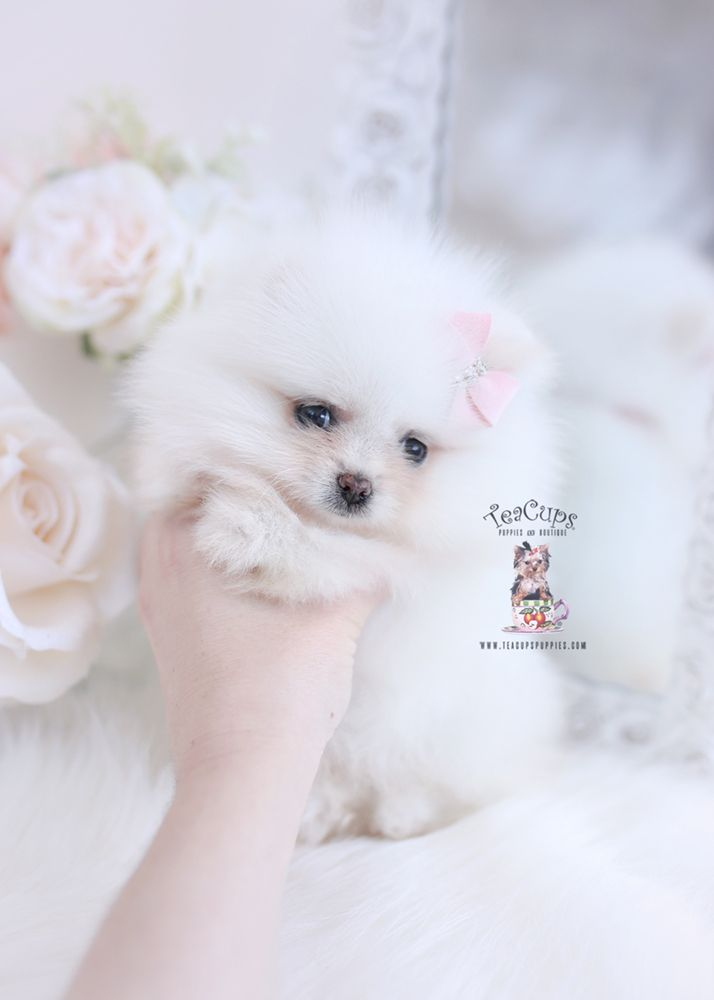White Teacup Puppy : white, teacup, puppy, Teacup, Maltese, Breeder, Teacups,, Puppies, Boutique, Puppies,, White, Pomeranian, Puppy