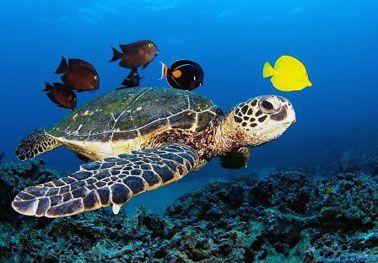 Tortuga marina caretta-caretta y peces tropicales