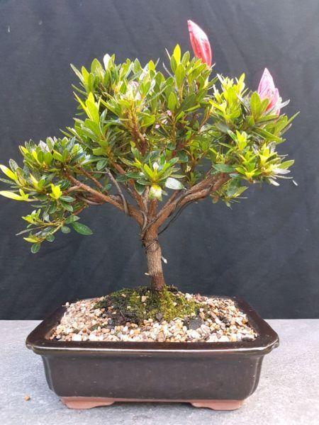 Bonsai, Sao to me azalea; in flower | Plants | Gumtree Australia North Sydney Area - Cremorne | 1134936711