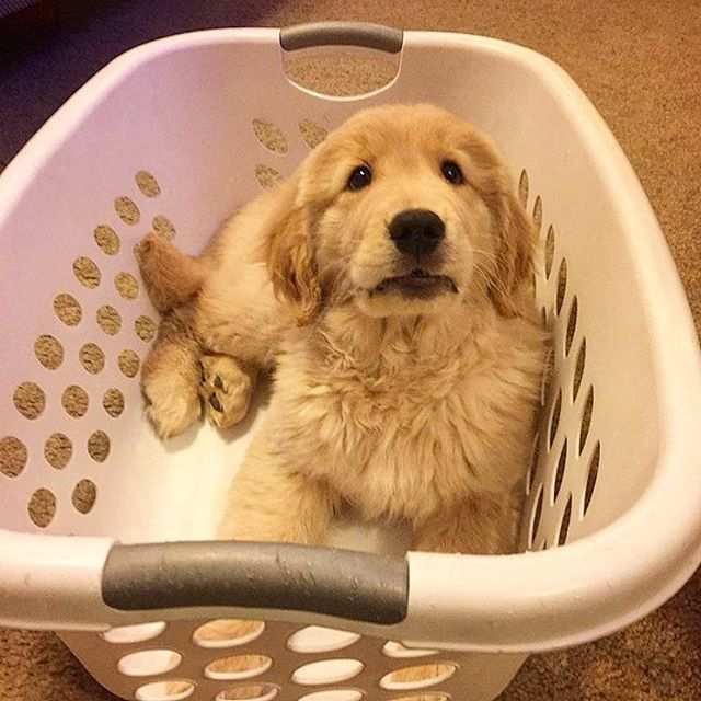 Laundry Anyone I Want A Golden Retriever Puppy Dogs Puppies