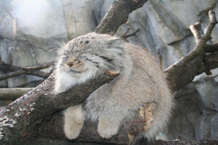 sleeping pallas cat                                                                                                                                                                                 More