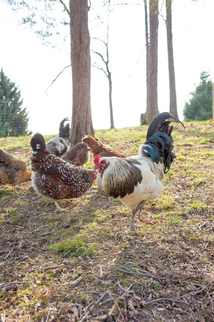212 best backyard chickens images on pinterest backyard chickens