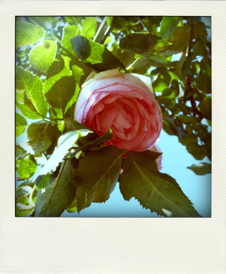 Rosa : Bhubing Palace