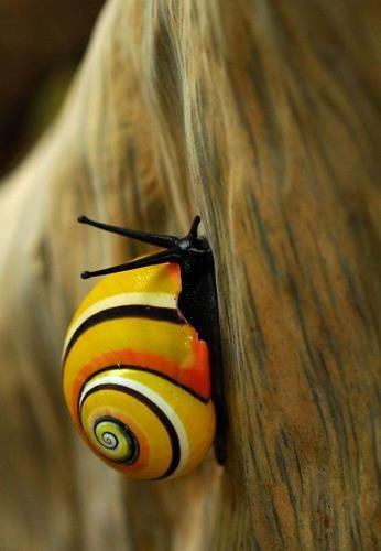 especie de caracoles de tierra con vistosos colores......