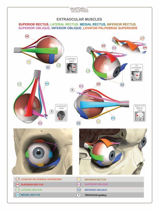 anatomy of facial expression pdf
