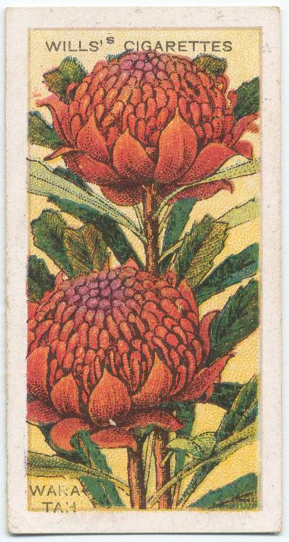 17 Best Images About W For Waratah On Pinterest