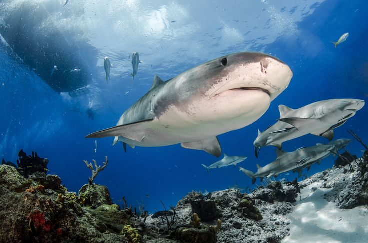 Picture of sharks swimming together. some dusky groupers (Epinephelus marginatus) have been able to grow and reach large sizes (the species is classified as endangered in the IUCN Red List). It is interesting that these large specimens have grown accustomed to divers and, sometimes, they let photographers get close, or very close, like in this picture (other times they just ignore all divers). PHOTOGRAPH BY DAVE BAKER, UPY 2017