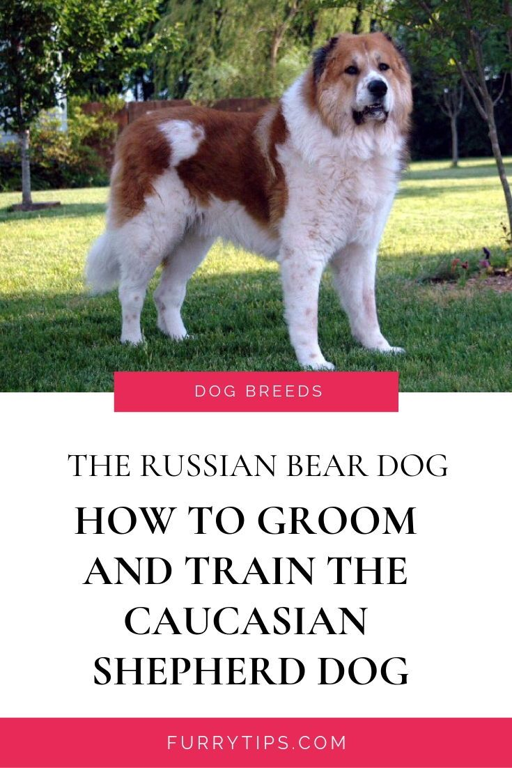 The Russian Bear Dog Learn How To Groom And Train The Caucasian