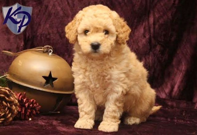 Buttercup – Goldendoodle – Miniature Puppies for Sale in PA   Keystone Puppies