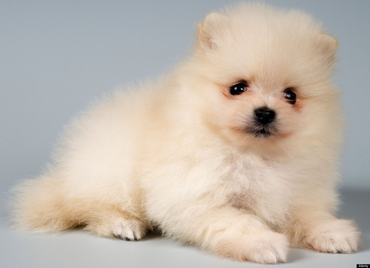 fat pomeranian 129 best images about pomeranians on pinterest 2074