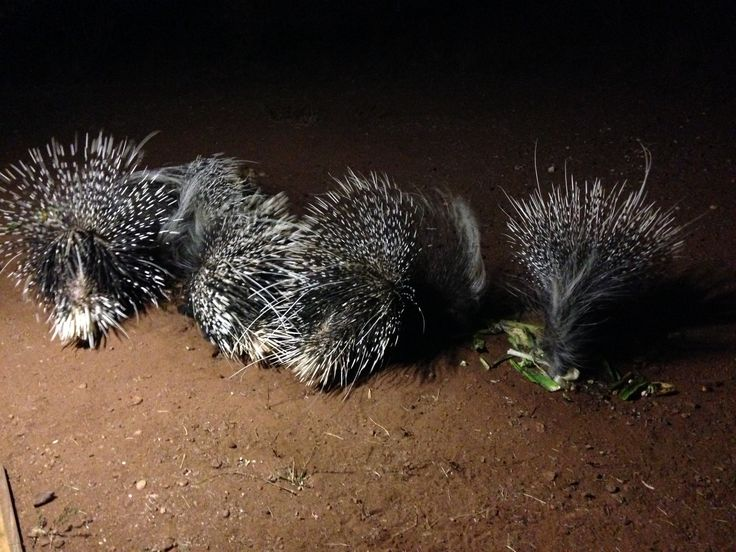 HEDGEHOGS OUT FOR A SNACK.