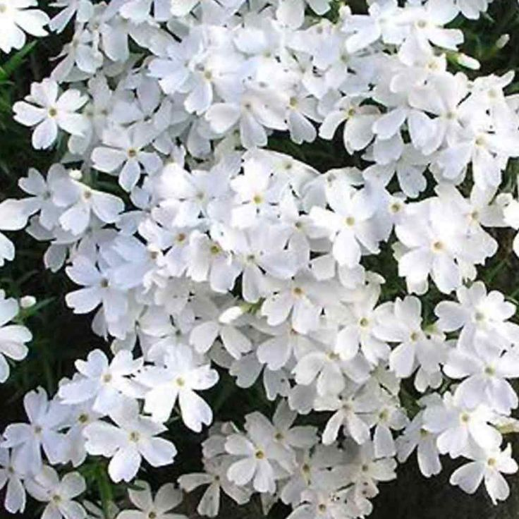 Phlox Subulata Snowflake - Ground Cover Perennials (0-25cm) - By Size - Perennial Plants - J. Parker's