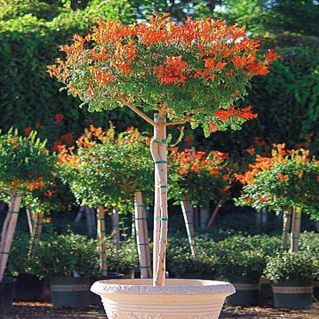10 cape honeysuckle seeds tecoma capensis seeds for Small decorative evergreen trees