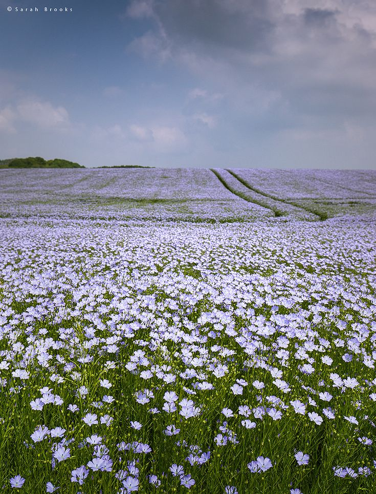 https://flic.kr/p/GGACiM | Flax | More from that lovely field of Linseed from yesterday afternoon in Wiltshire.