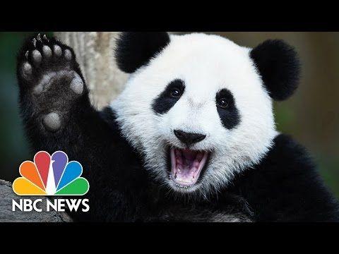 NBC News: 5 Fun Facts About Pandas For National Panda Day