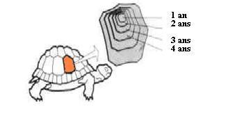 Voici une petite image expliquant comment calculer l'âge de sa tortue, comme pour un arbre où l'on compterait le nombre de strie sur le tronc coupé il faut compter le nombre de sillon. Un sillon correspond à un an.  Il faut toute fois penser que cette mesure n'est qu'approximative car une tortue peut évoluer différemment en fonction de ses conditions de maintiens
