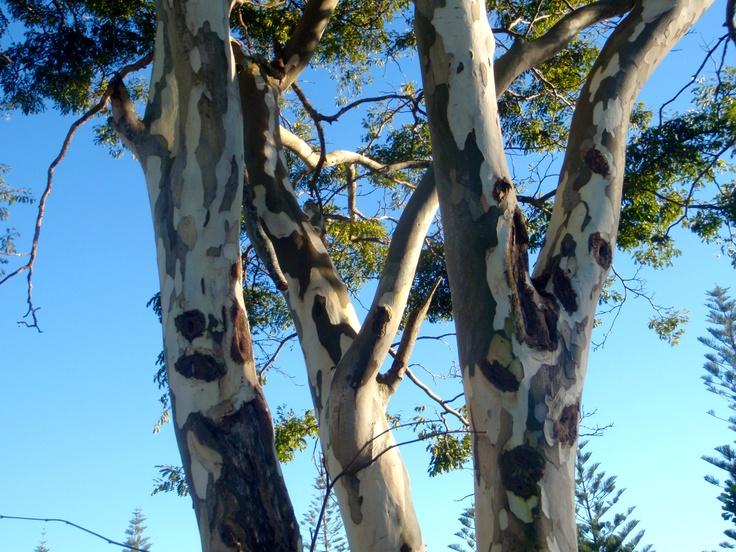 Beautiful tree at Brunswick Heads N.S.W.