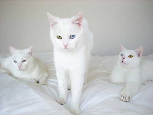 Are White Cats With Two Color Eyes Deaf