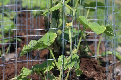 This is a guide about supporting cucumber vines.  There are a number of reasons you may wish to consider supporting or staking your cucumber vines.