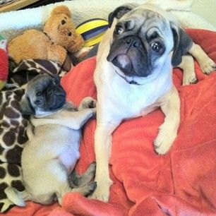 #Pug Loving  - Zeus and Zara