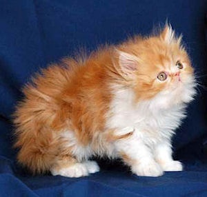 Orange persian kittens for sale in ohio