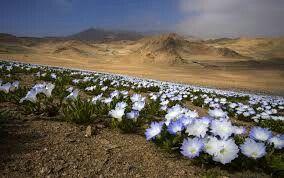 Flor suspiro visita www.lascubasdecydonia.cl