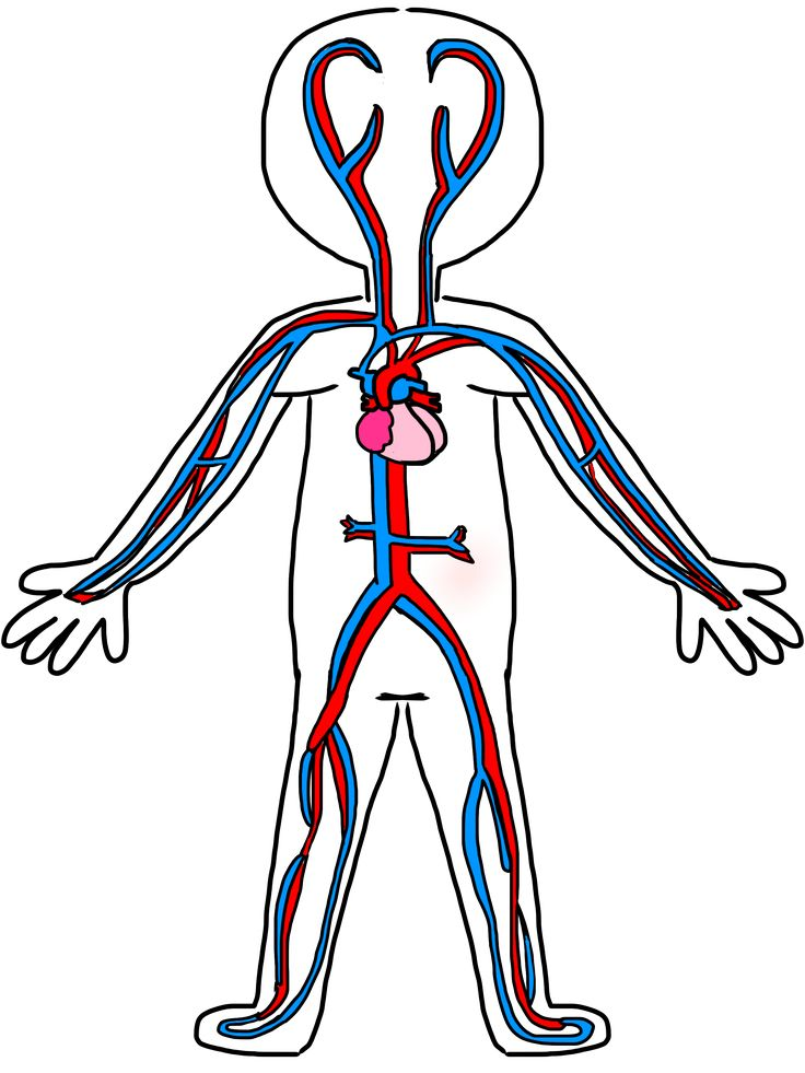 Circulatory System Transparent Png Pic