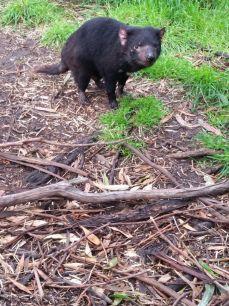 Tasmaanse duivel, East Coast Natureworld, Tasmanië, Australië #tasmania #tassie #australia #roadtrip #tasmaniandevil