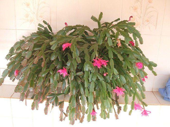 Rady pro pěstování a kvetení ván.kaktusu.