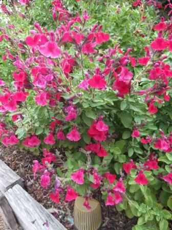 If you want a colourful plant that thrives in the hot summer sun, give the salvia a try !  thelinkssite.com
