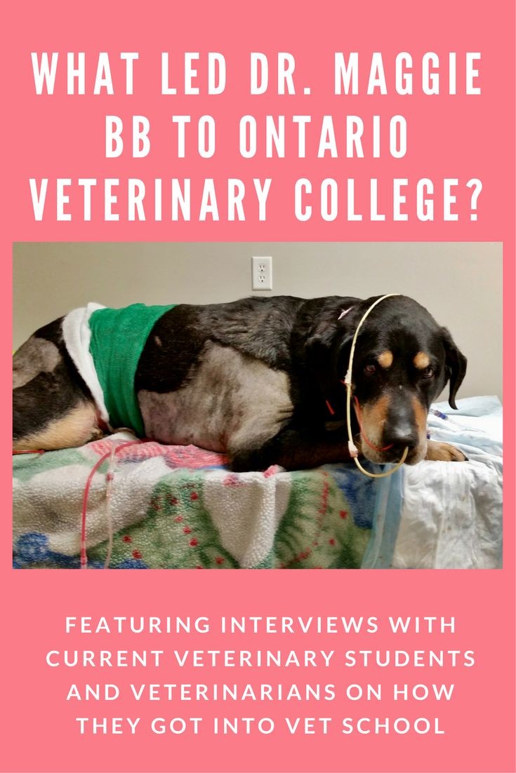 Words of wisdom from Dr. Maggie BB and how she got accepted to Ontario Veterinary College, one of the accredited schools for studying Veterinary Medicine.