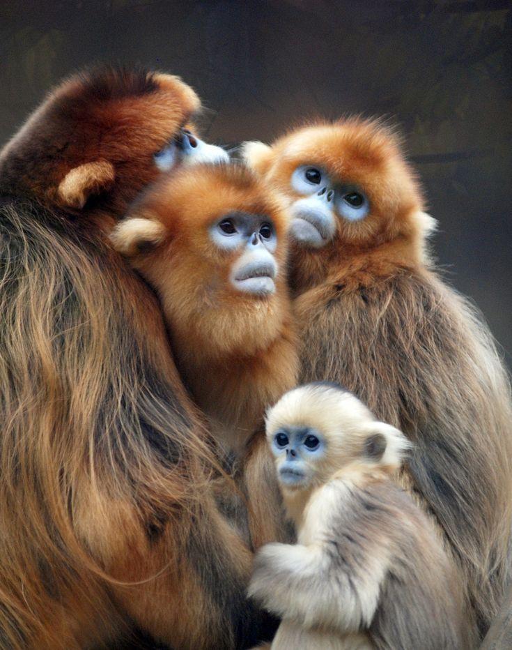 Snub-nosed monkey China - endangered