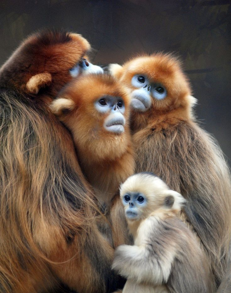 Golden monkeys ... indigenous to Central Africa (Uganda, Rwanda, Congo) ... these golden monkeys are at the Everland zoo in Seoul, South Korea