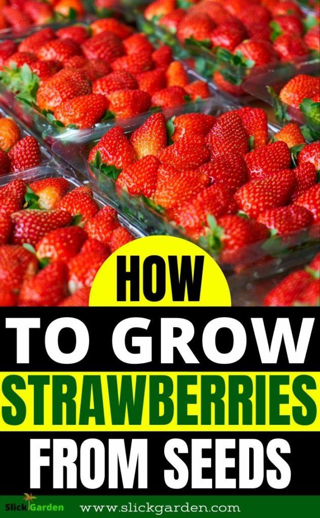How To Grow Strawberry From Seeds At Home Slick Garden Growing Strawberries Growing Strawberries Vertically Strawberry Plants