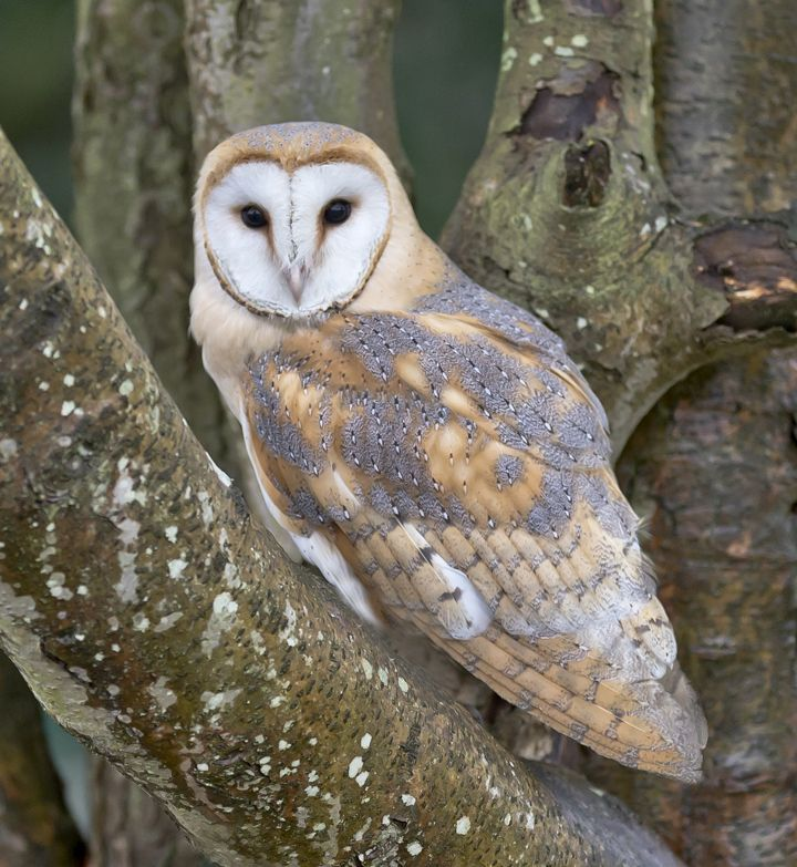 I just love owls...such beautiful and majestic creatures :)