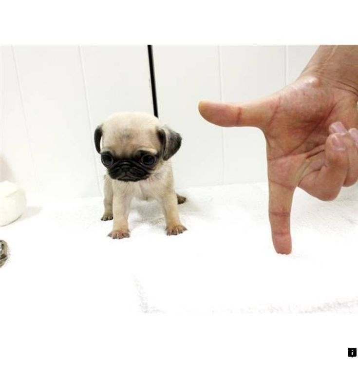 Read About Teacup Pugs For Sale Just Click On The Link To Learn