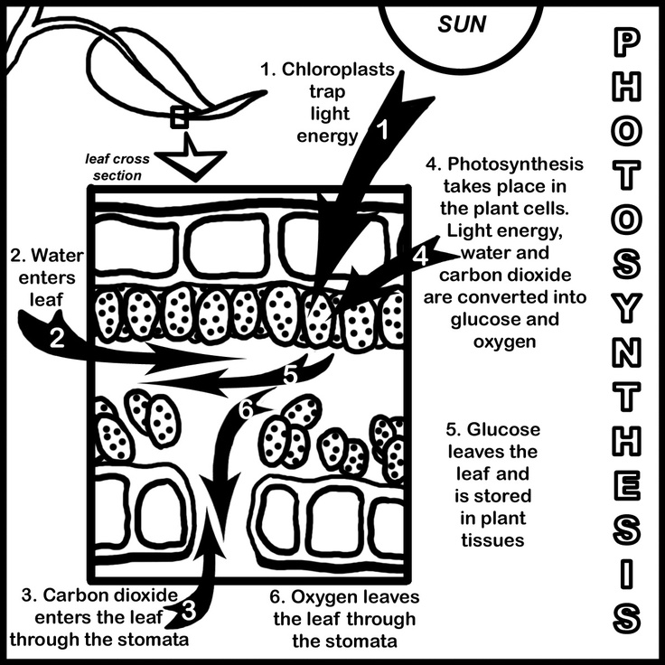 53 best Photosynthesis and Cellular Respiration images on