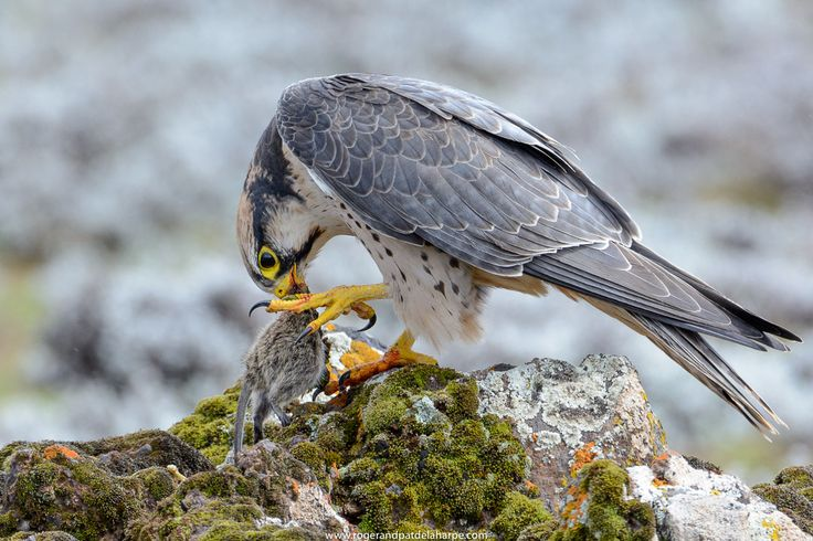 A Lanner falcon feeding on a rodent in the Bale Highlands National Park in Ethiopia. See more of our work at http://www.rogerandpatdelaharpe.com
