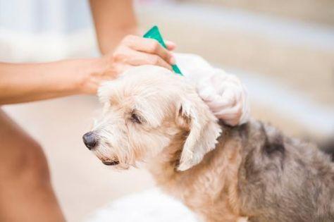 Remedios caseros para eliminar las garrapatas de mi perro. Eliminar las garrapatas en perros es posible con remedios caseros como la manzanilla, el vinagre de manzana o el aceite de romero, de canela o de almendras. Estos son especialmente útiles cuando se tr...