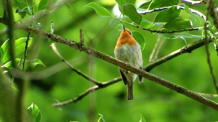 Roodborstje (Robin) - Erithacus rubecula