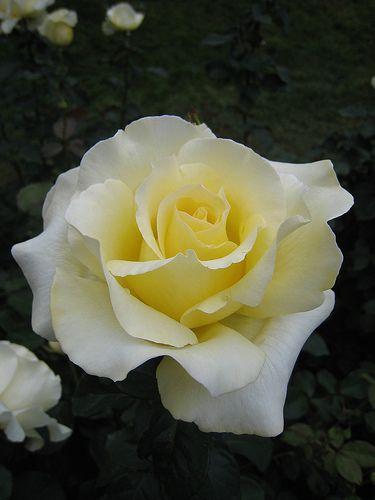 ~'Elina' Hybrid Tea Rose