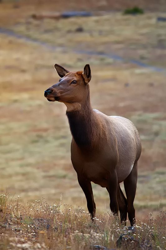 Elk Cow - Yellowstone National Park, Wyoming