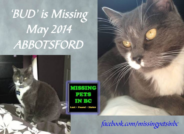 'BUD' MISSING GREY & WHITE CAT in ABBOTSFORD (Clearbrook area - Elkford Dr) - MAY 2014