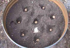 Plantez pommes de terres dans la terre