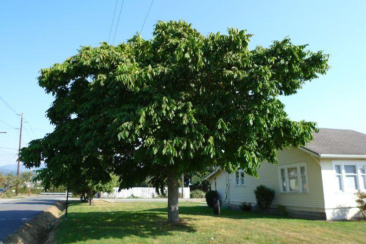 Wild Harvests: Manchurian Walnut, another street tree