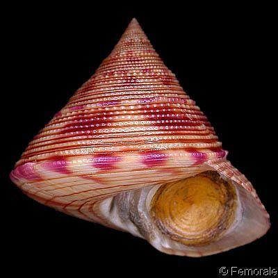 Calliostoma axelolssoni  Quinn, J.F., 1992 Olsson's Top Shell Shell size 20 - 33 mm Lesser Antilles; N Brazi