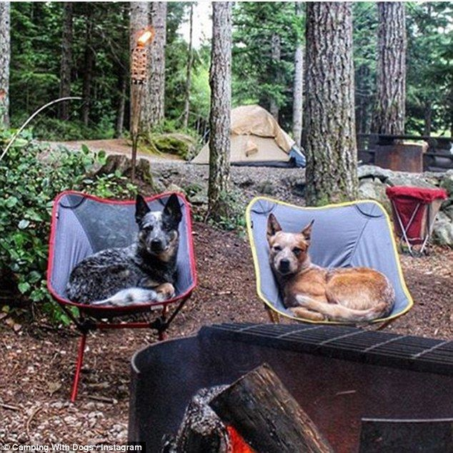 @west_coast_heeler_pack: Two canines try to keep warm in camping chairs by the fire and living the wildlife dream