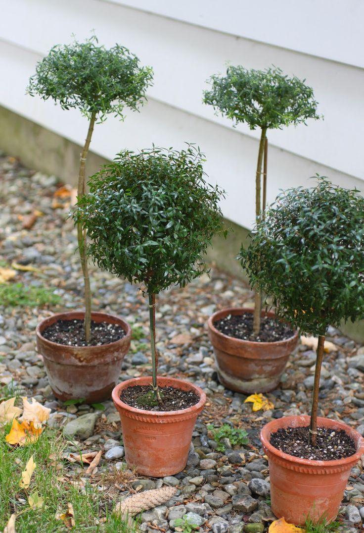 how to turn rosemary into bonsai